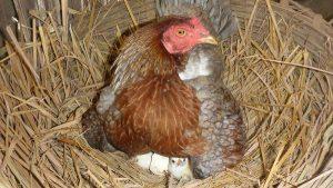 Inkubator do jaj ułatwiają życie na wsi