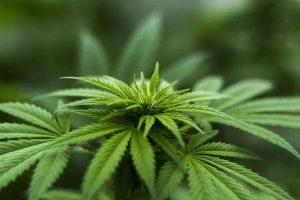 Sprzedaż nasion marihuany